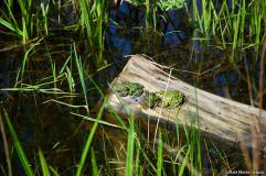 Grass Frogs sitting in a pond on a piece of driftwood